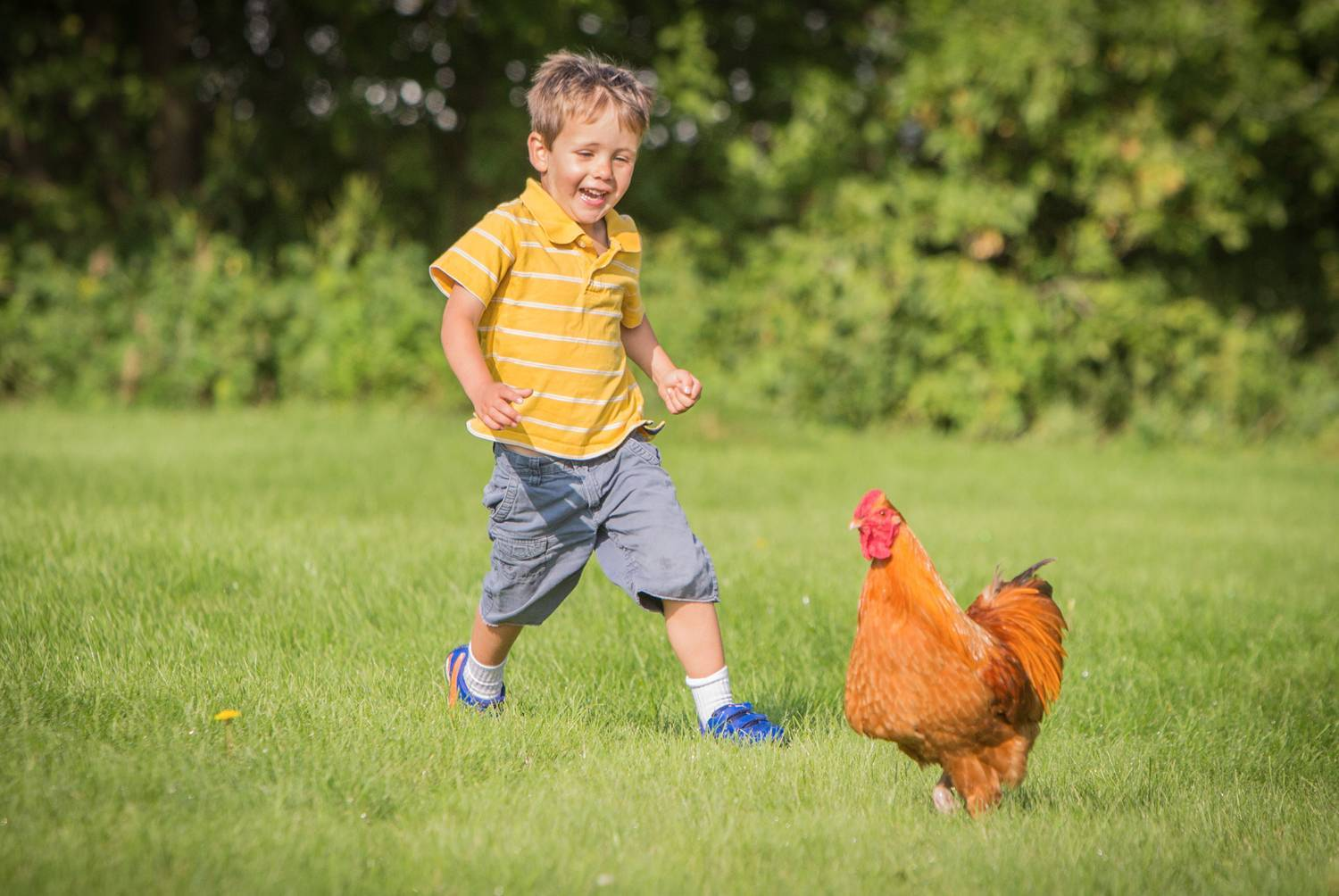 Simon Windgassen chases one of his family's chickens.